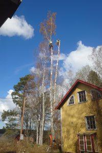 Fällning av högt träd karlstad